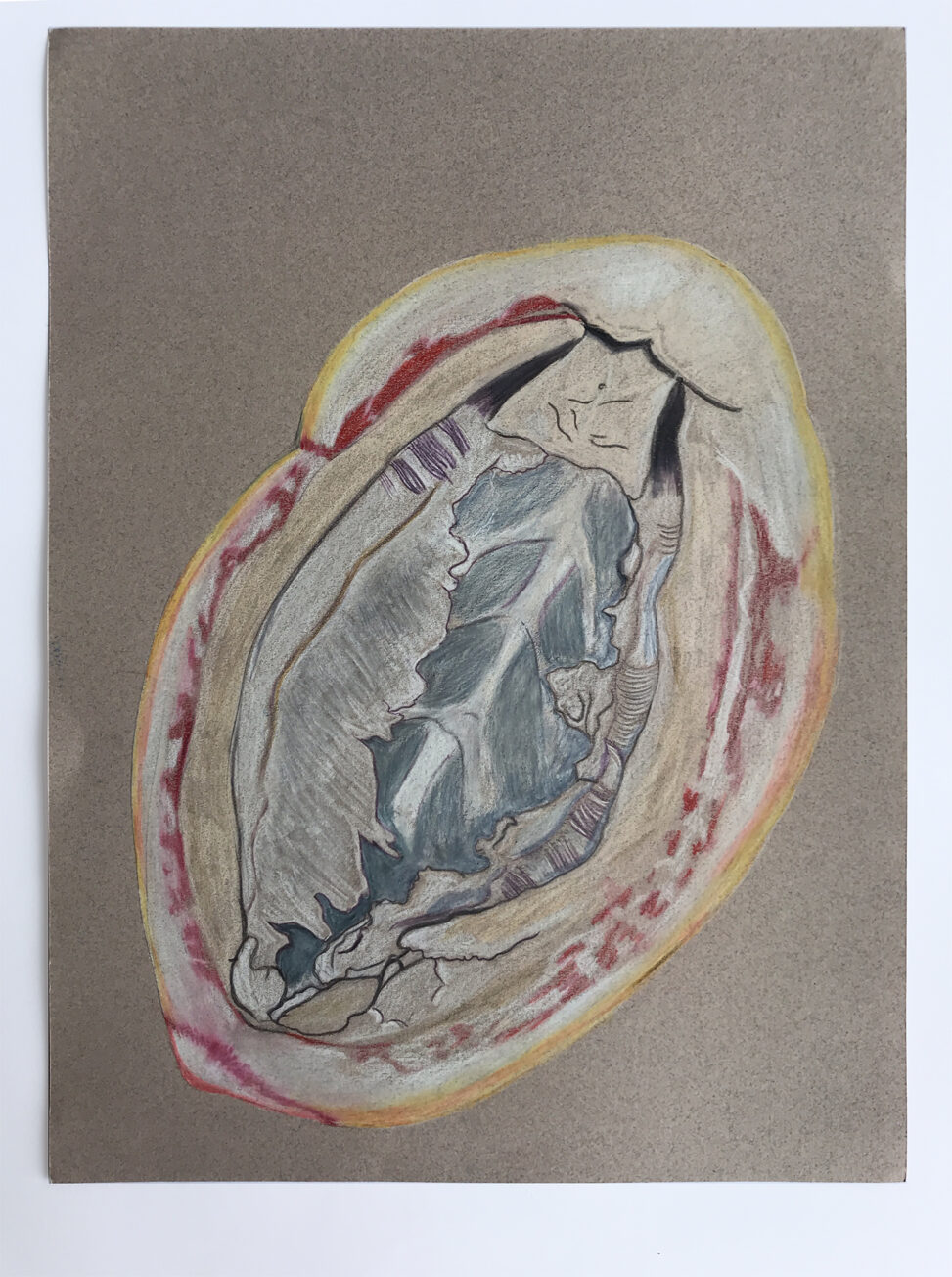 Drawing of the underside of a gumboot chiton on a gray background.