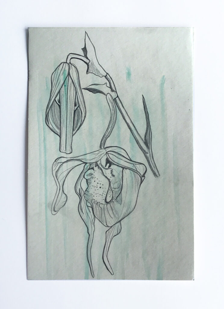 Drawing of a lady slipper flower on a green background.