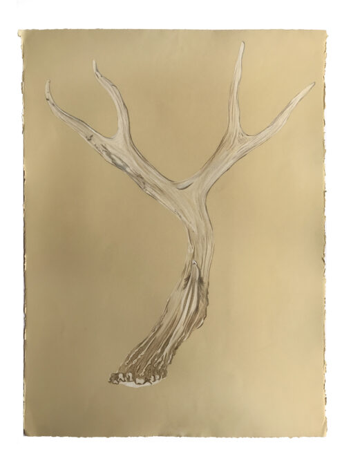 Drawing of an antler on a beige background.