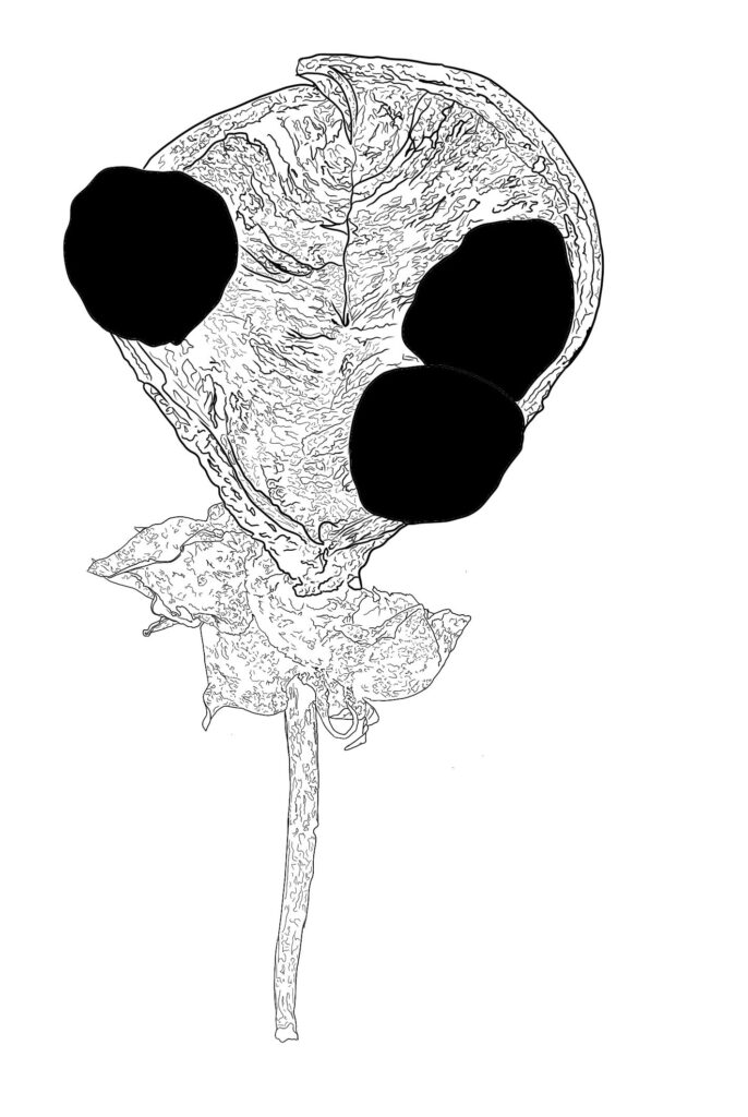 a black and white line drawing of a seed pod.